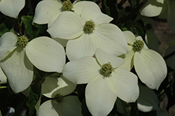 National Chinese Dogwood (Cornus kousa 'National') at Alsip Home and Nursery