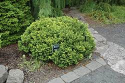 Golden Pin Cushion Falsecypress (Chamaecyparis pisifera 'Golden Pin Cushion') at Alsip Home and Nursery