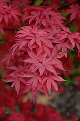 Twombly's Red Sentinel Japanese Maple (Acer palmatum 'Twombly's Red Sentinel') at Alsip Home and Nursery