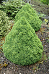 Humpty Dumpty Spruce (Picea glauca 'Humpty Dumpty') at Alsip Home and Nursery