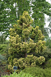 Dwarf Golden Hinoki Falsecypress (Chamaecyparis obtusa 'Nana Lutea') at Alsip Home and Nursery