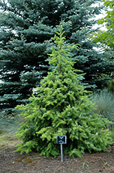 Golden Serbian Spruce (Picea omorika 'Aurea') at Alsip Home and Nursery