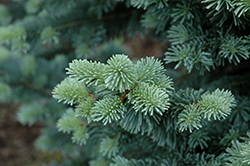 Compact Alpine Fir (Abies lasiocarpa 'Compacta') at Alsip Home and Nursery