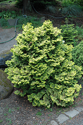Lynn's Golden Dwarf Hinoki Falsecypress (Chamaecyparis obtusa 'Lynn's Golden') at Alsip Home and Nursery