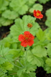 Eos Avens (Geum 'Eos') at Alsip Home and Nursery