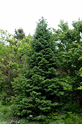 Wilson's Spruce (Picea wilsonii) at Alsip Home and Nursery