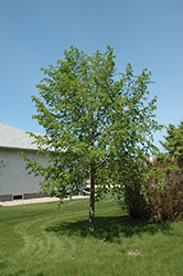 Golden Cascade Linden (Tilia cordata 'Golden Cascade') at Alsip Home and Nursery