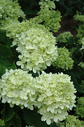 Little Lime® Hydrangea (Hydrangea paniculata 'Jane') at Alsip Home and Nursery