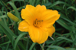Spellbinder Daylily (Hemerocallis 'Spellbinder') at Alsip Home and Nursery
