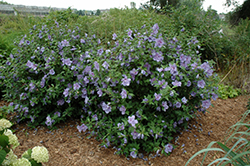 Blue Chiffon® Rose of Sharon (Hibiscus syriacus 'Notwoodthree') at Alsip Home and Nursery