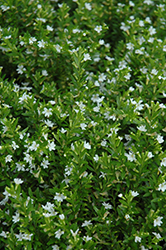 White False Heather (Cuphea hyssopifolia 'Alba') at Alsip Home and Nursery