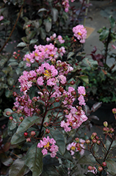 Rhapsody In Pink Crapemyrtle (Lagerstroemia indica 'Whit VIII') at Alsip Home and Nursery