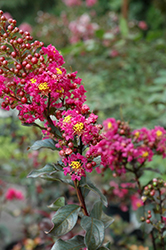 Plum Magic Crapemyrtle (Lagerstroemia 'Plum Magic') at Alsip Home and Nursery