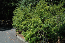 Southern Wax Myrtle (Myrica cerifera) at Alsip Home and Nursery