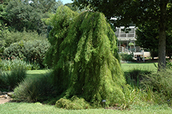 Falling Waters Baldcypress (Taxodium distichum 'Falling Waters') at Alsip Home and Nursery