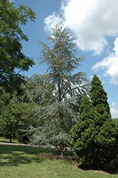 Blue Atlas Cedar (Cedrus atlantica 'Glauca') at Alsip Home and Nursery