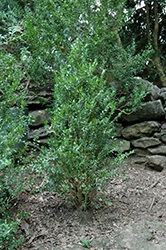 Fastigiata Boxwood (Buxus sempervirens 'Fastigiata') at Alsip Home and Nursery