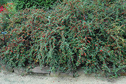 Cranberry Cotoneaster (Cotoneaster apiculatus) at Alsip Home and Nursery