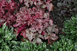 Carnival Peach Parfait Coral Bells (Heuchera 'Peach Parfait') at Alsip Home and Nursery