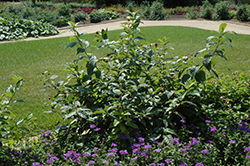 Button Bush (Cephalanthus occidentalis) at Alsip Home and Nursery