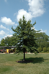 Shingle Oak (Quercus imbricaria) at Alsip Home and Nursery