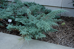 Angelica Blue Juniper (Juniperus x media 'Angelica Blue') at Alsip Home and Nursery