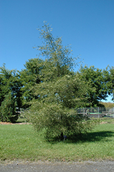 Imperial Common Alder (Alnus glutinosa 'Imperialis') at Alsip Home and Nursery