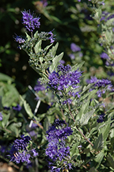 First Choice Caryopteris (Caryopteris x clandonensis 'First Choice') at Alsip Home and Nursery
