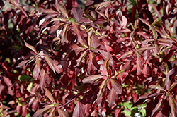 Red Gnome Dogwood (Cornus alba 'Regnzam') at Alsip Home and Nursery