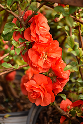 Double Take Orange™ Flowering Quince (Chaenomeles speciosa 'Double Take Orange Storm') at Alsip Home and Nursery