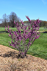 Celestial Plum Redbud (Cercis yunnanensis 'Celestial Plum') at Alsip Home and Nursery