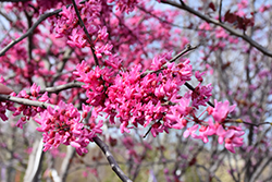 Appalachian Red Redbud (Cercis canadensis 'Appalachian Red') at Alsip Home and Nursery