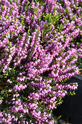 Mediterranean Pink Heath (Erica x darleyensis 'Mediterranean Pink') at Alsip Home and Nursery