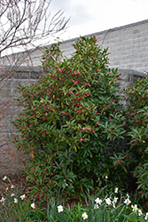 Woodland Ruby Anise Tree (Illicium 'Woodland Ruby') at Alsip Home and Nursery