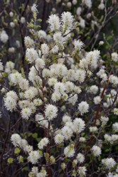 Large Fothergilla (Fothergilla major) at Alsip Home and Nursery