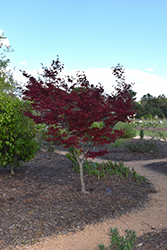 Yubae Japanese Maple (Acer palmatum 'Yubae') at Alsip Home and Nursery