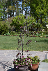Ruby Falls Redbud (Cercis canadensis 'Ruby Falls') at Alsip Home and Nursery