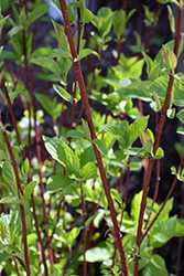 Bailey Red-Twig Dogwood (Cornus baileyi) at Alsip Home and Nursery