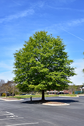 Willow Oak (Quercus phellos) at Alsip Home and Nursery