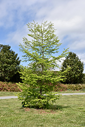 Golden Larch (Pseudolarix amabilis) at Alsip Home and Nursery