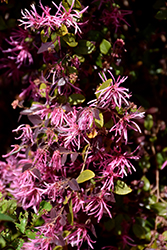 Burgundy Fringeflower (Loropetalum chinense 'Burgundy') at Alsip Home and Nursery