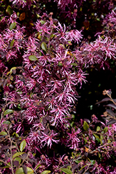 Red-Flowered Chinese Fringeflower (Loropetalum chinense 'var. rubrum') at Alsip Home and Nursery