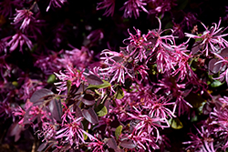 Razzleberri Fringeflower (Loropetalum chinense 'Razzleberri') at Alsip Home and Nursery