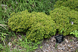 Kingsville Dwarf Boxwood (Buxus microphylla 'Kingsville Dwarf') at Alsip Home and Nursery