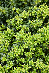 Soft Touch Japanese Holly (Ilex crenata 'Soft Touch') at Alsip Home and Nursery