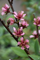 Red Gold Nectarine (Prunus persica 'Red Gold') at Alsip Home and Nursery