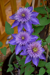 Multi Blue Clematis (Clematis 'Multi Blue') at Alsip Home and Nursery