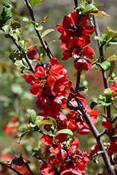 Crimson Beauty Flowering Quince (Chaenomeles x superba 'Crimson Beauty') at Alsip Home and Nursery