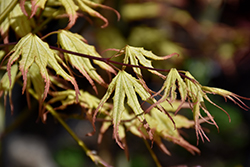 Peaches And Cream Japanese Maple (Acer palmatum 'Peaches And Cream') at Alsip Home and Nursery