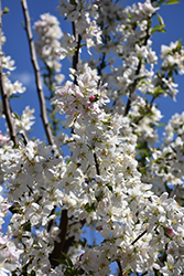 Sugar Tyme Flowering Crab (Malus 'Sugar Tyme') at Alsip Home and Nursery